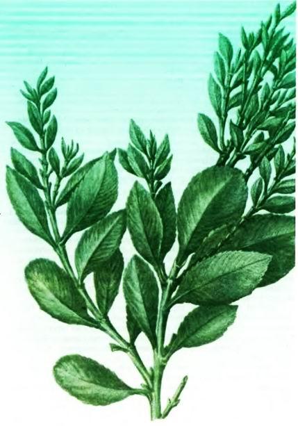 Катх, Хат, Арабский чай — Catha edulis Forsk.