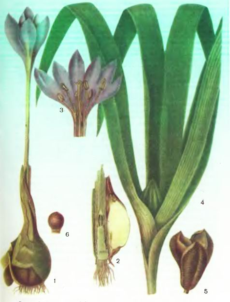 Безвременник— Colchicum autumnale L