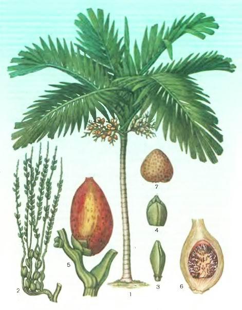Бетельная пальма, Арека—Агеса catechu L.