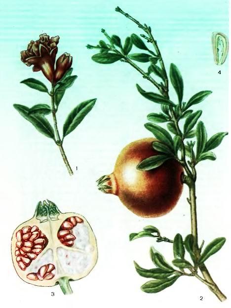 Гранатник—Punica granatum L.