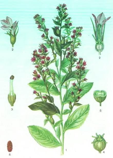 Лобелия одутлая—Lobelia inflate L.