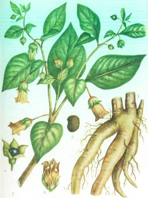 Белладонна, Красавка— виды Atropa L.