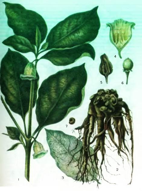 Скополия — виды Scopolia J acq.