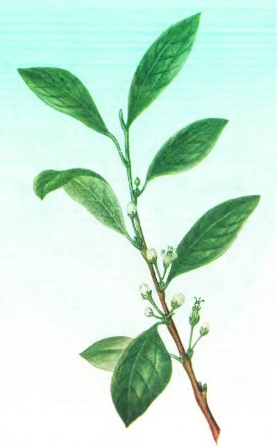 Кокаиновый куст—Erythroxylon coca Lam.