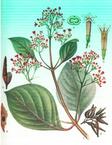 Хинное дерево— виды Cinchona L.