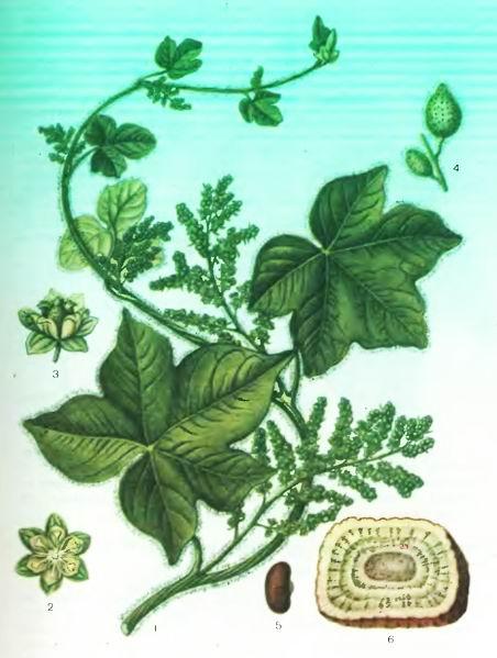 Коломбо, Ятрориза — Jatrorrhiza palmata Miers