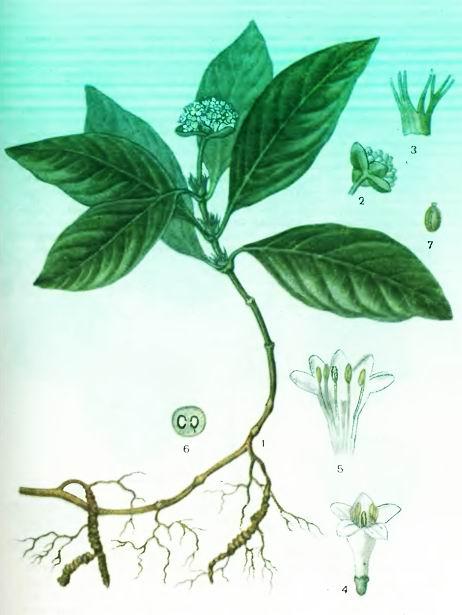 Ипекакуана, Рвотный корень— Cephaelis ipecacuanha Willd.