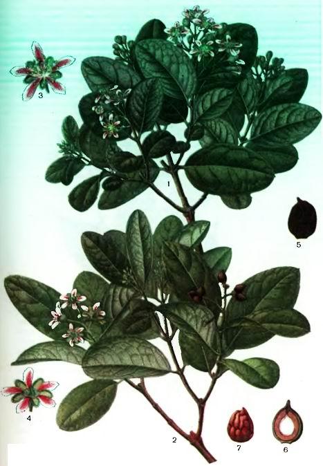 Болдо, Пеумус—Peumus boldus Molina;