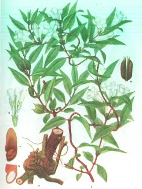 Гельземий вечнозеленый—Gelsemium sempervirens Ait.