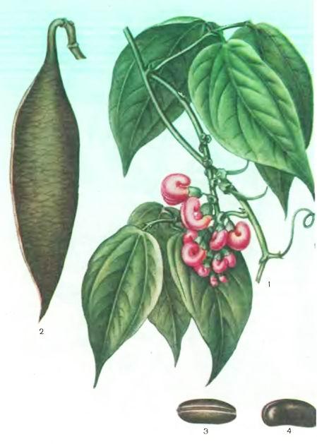 Фнзостигма, Калабарский боб— Physostigma venenosum Bulf.