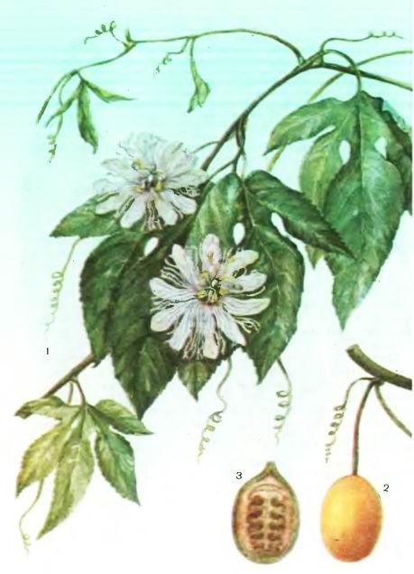 Пассифлора инкарнатная, Страстоцвет мясокрасный