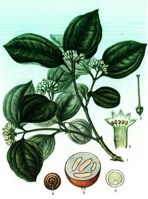 Чилибуха, Рвотный орех— Sttychnos nux vomioa L.