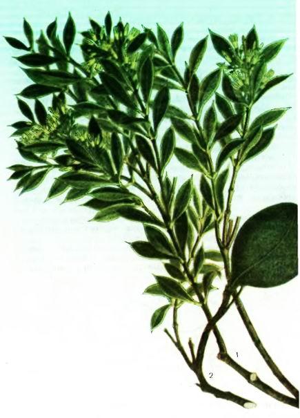 Аспидосперма, Квебрахо —Aspidosperma guebracho-blanco Schlecht.