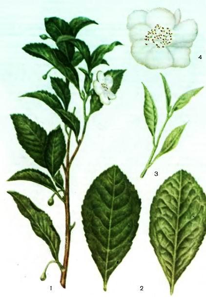 Чай китайский—Thea sinensis L