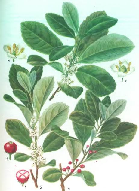 Парагвайский чай, Матэ—Ilex paraguariensis St. НИ
