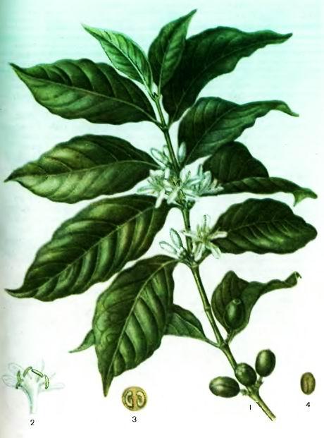 Кофейное дерево— виды Coffea L.