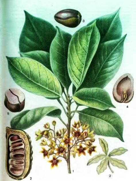 Кола- Cola nitida (Vent.)Schott et Endl.