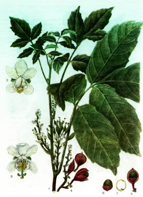 Гуарана— Paullinia cupana Kunth