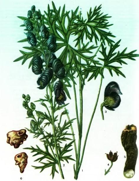 Аконит— Aconitum ferox Wall