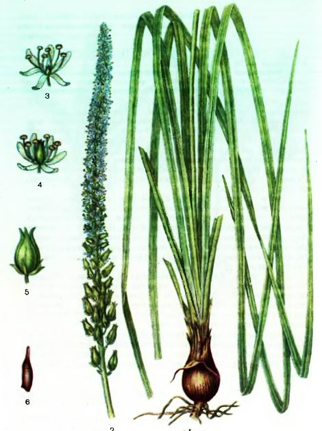 Сабадилла— Schoenocaulon officinale (Schl.)