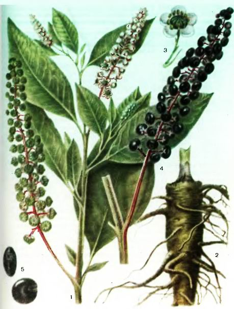Фитолакка, Лаконос—Phytolacca americana L.