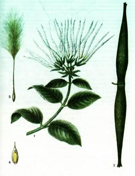 Строфант — виды Strophanthus DC.