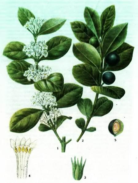 Акокангера— Acocanthera abyssinica (Hochst.)