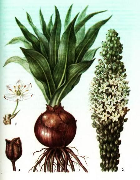 Морской лук — Urginea maritime (L.) Baker