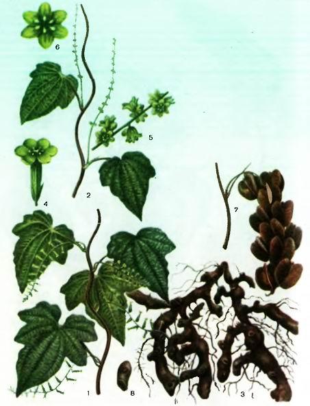Диоскорея— Dioscorea deltoides Wall
