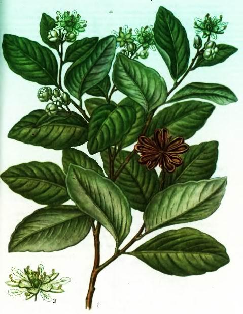 Квиллайа—Quillajae saponaria Mol.