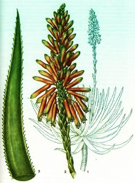 Алоэ— виды Aloe (Tourn.) L.