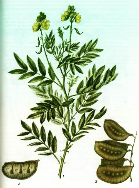 Сенна, Кассия— Cassia angustifolia Vaahl.