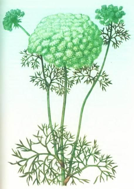 Амми большая-(Apiaceae - Ammi majus L. - Сельдерейные)