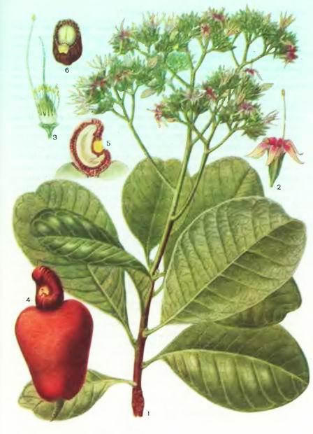 Анакардиум, Кешу, Акажу — Anacardium occidentale L.
