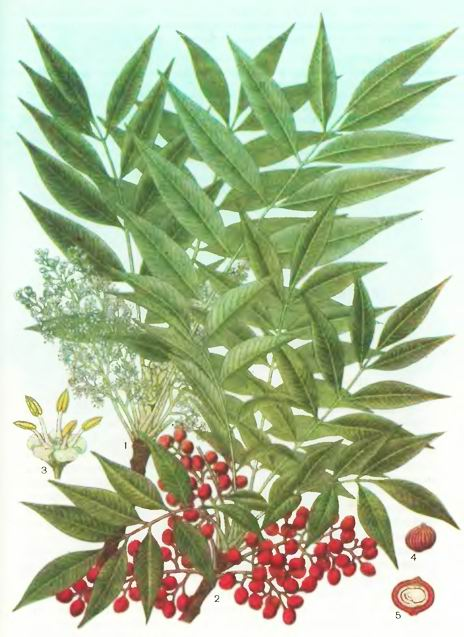 Сумах полукрылын—Rhus semialata Murr