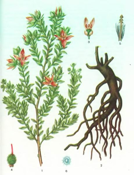 Ратания — Krameria triandra Ruiz et Rav.