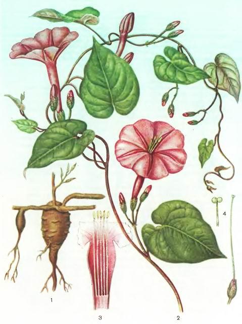 Ялапа настоящая—Exogenium purga (Wend.) Benth.