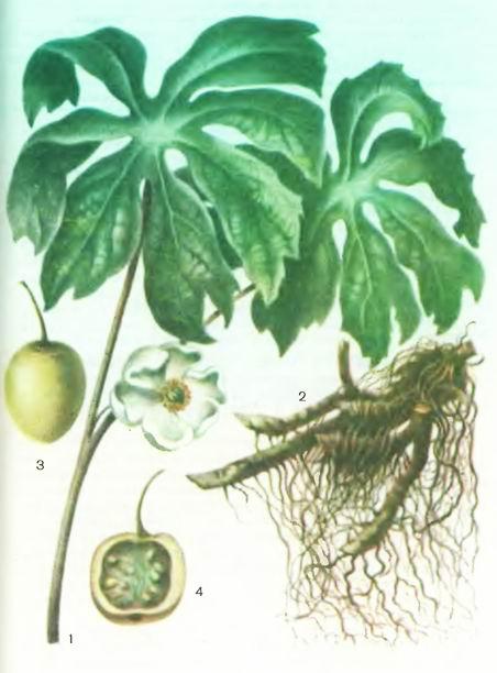 Подофилл— Podophyllum emodi Wall