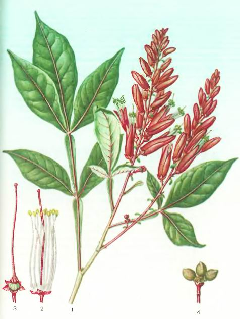 Квассия —Quassia amara L.