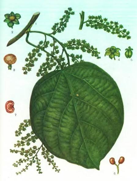 Кукольван— Anamirta cocculus (L.) Wright et Arn.