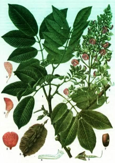 Писцидия— Piscidia erythrina L.