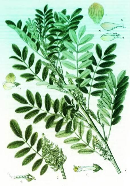 Индигофера— Indigofera tinctoria L