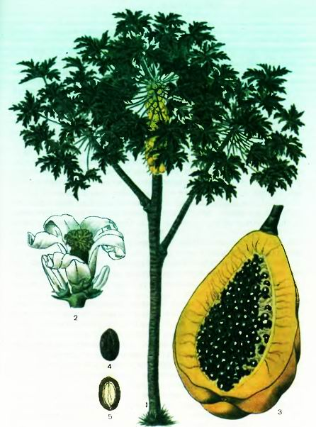������ ������ Carica papaya L.