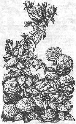 Розы эфирномасличные— виды Rosae L.