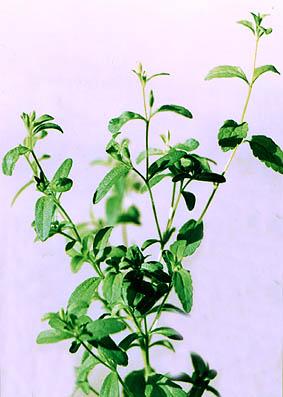 Стевия— Stevia rebaudiana Bert.