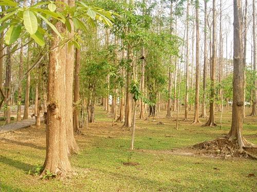 Тиковое дерево — Tectona grandis L.
