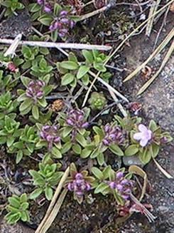 Тимьян — Thymus vulgaris L.