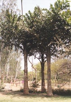 Винная пальма