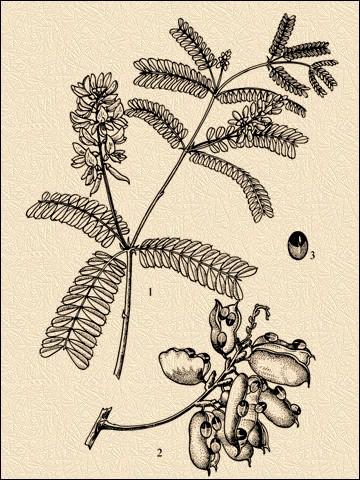 Хекверити— Abrus precatorius L.