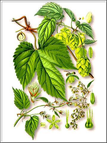 Хмель—Humulus Iupulus L.